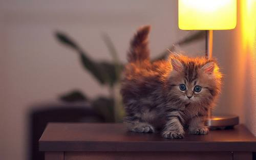 A_little_furball_of_kitten
