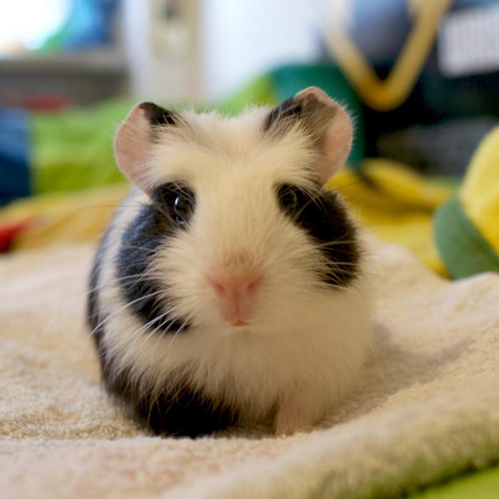 Baby_guinea_pig-700x700