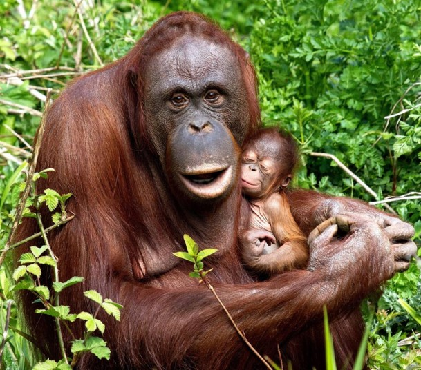 Baby_orangutan_with_his_mom