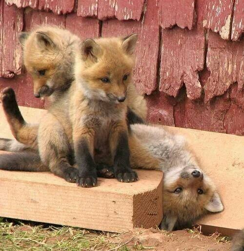 Bunch_of_baby_foxes