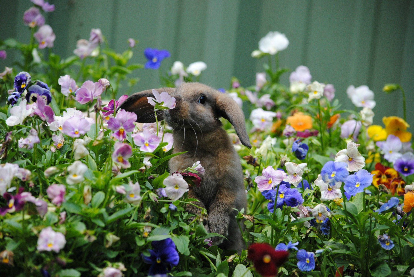 Bunny_smelling_flowers-1600x1071