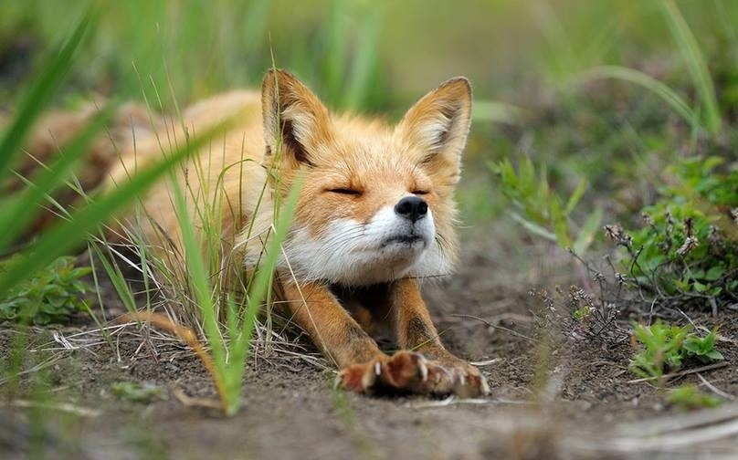 Cute_foxy_stretch