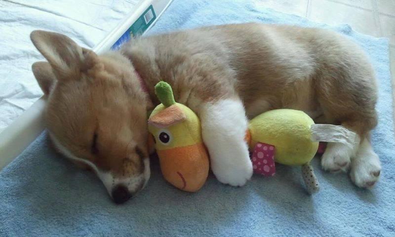 Cute_little_corgi_sleeping_with_stuffed_animal