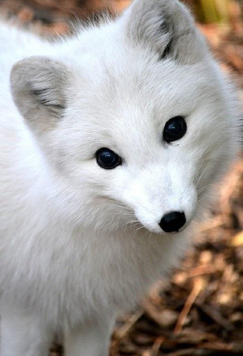 Cute_little_white_arctic_fox