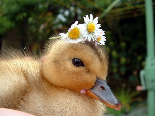 Duck_with_daisys