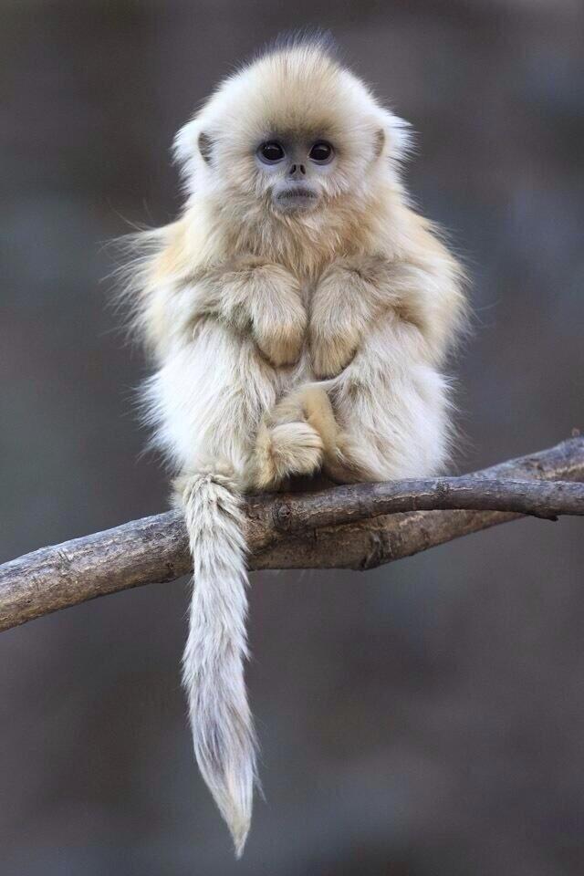 Golden_Snub_Nosed_Monkey