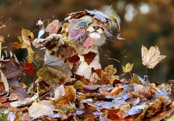 Lion_cub_playing_in_a_pile_of_leaves-700x490
