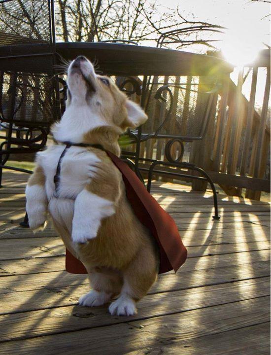 Super_corgi_hero