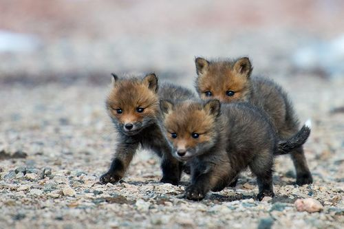 Three_cute_baby_foxes