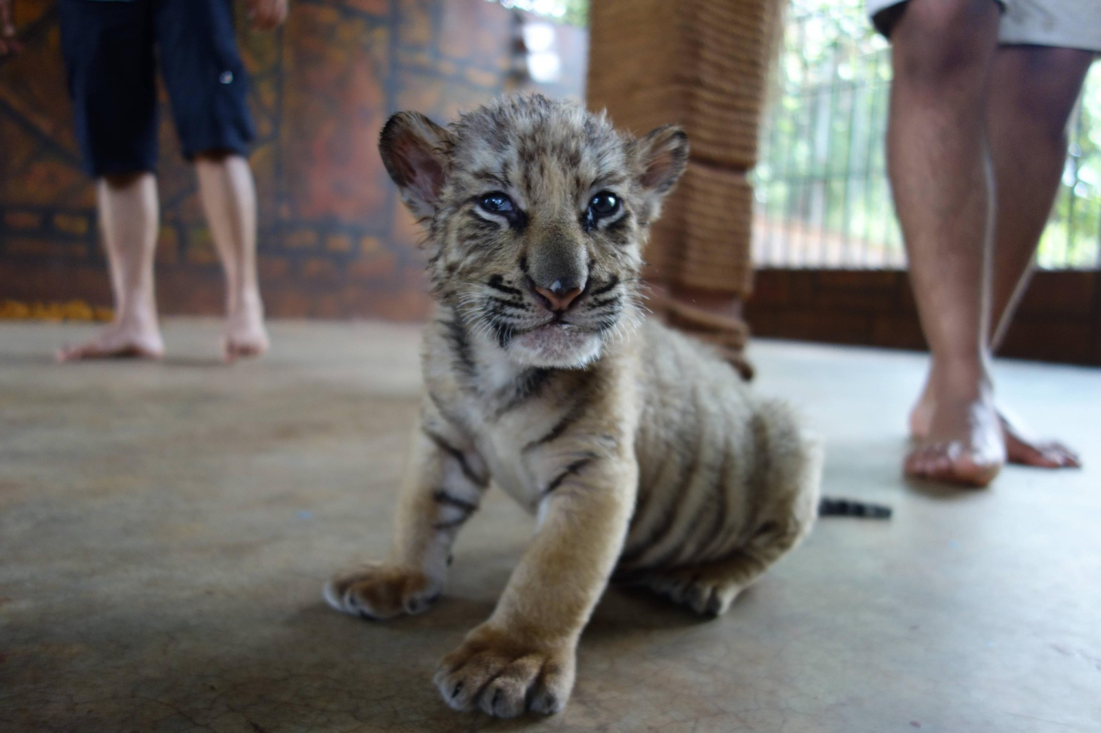 Three_week_old_tiger_cub-1600x1066