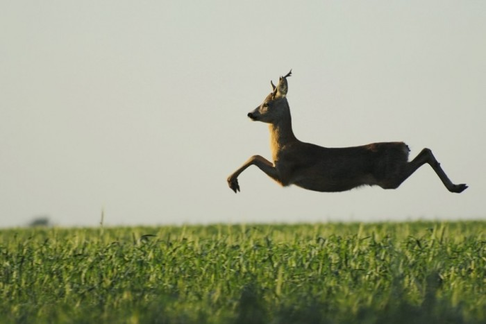 a_european_roe_deer_caught_mid_jump-700x467