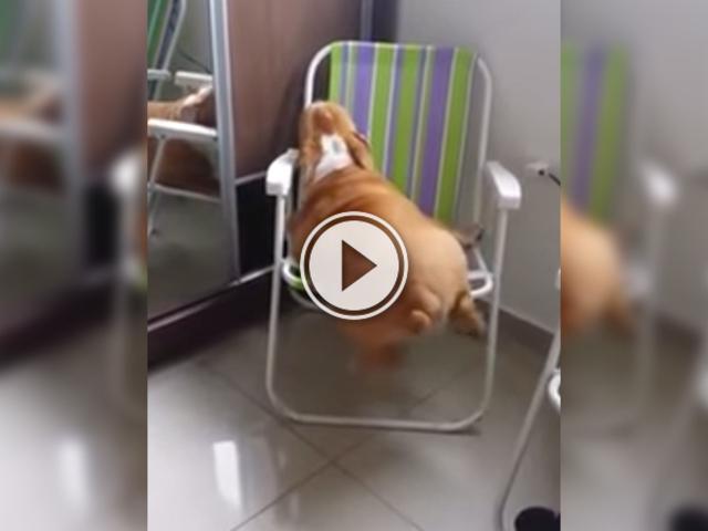 Смішне відео про нелегке життя гладкої собаки