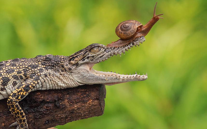 crocodile_snail_po_3411124k