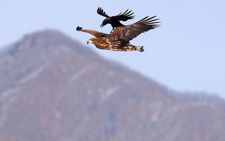 crow-eagle_2194539k