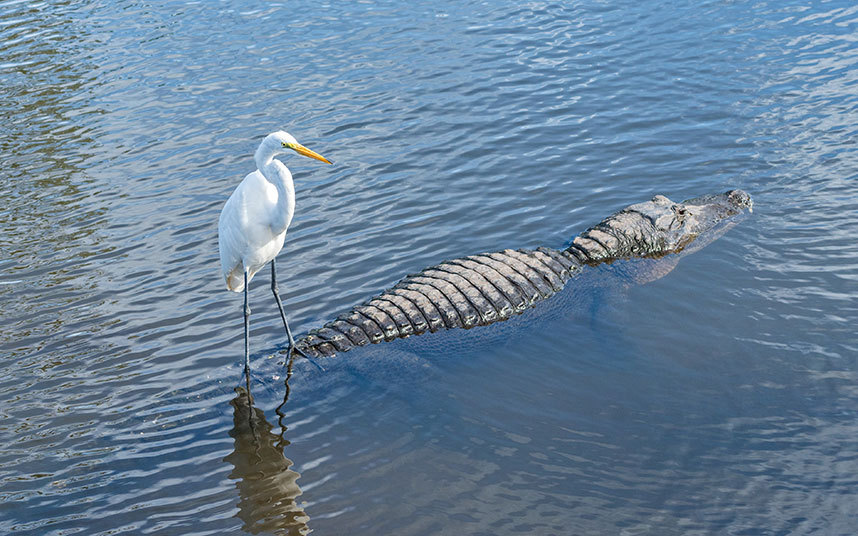egret_on_alligator_3411122k