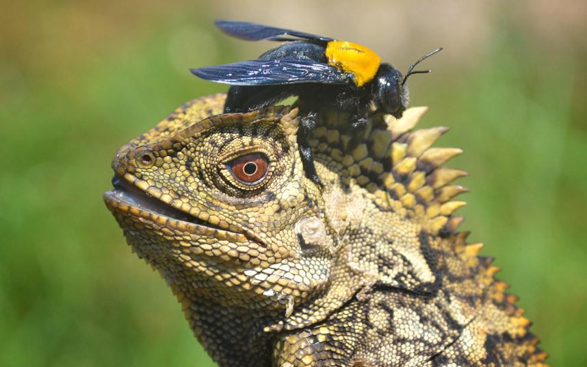 potd-lizard-bee_3226257k