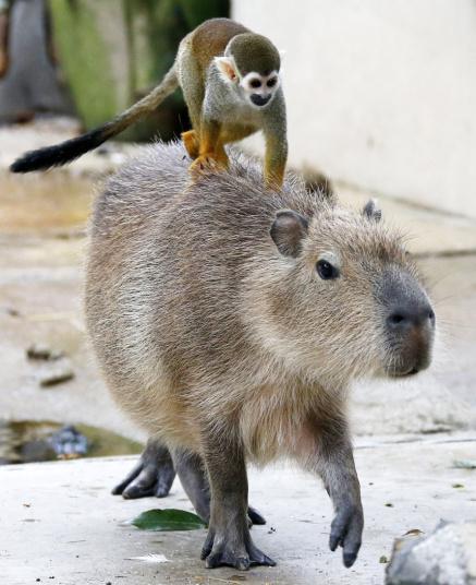 potd-monkey-piggyb_3361594k