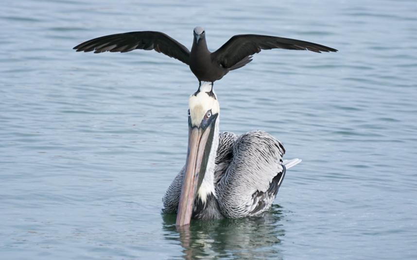 potd-pelican_3010476k