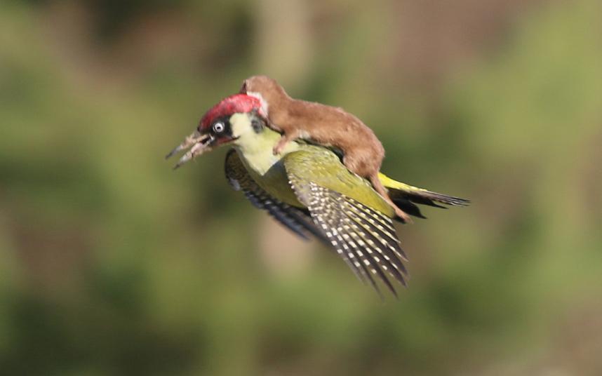 potd-woodpecker-_3217773k