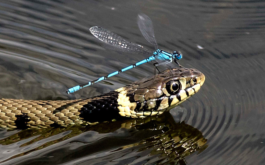 snake-piggyback-po_3361611k