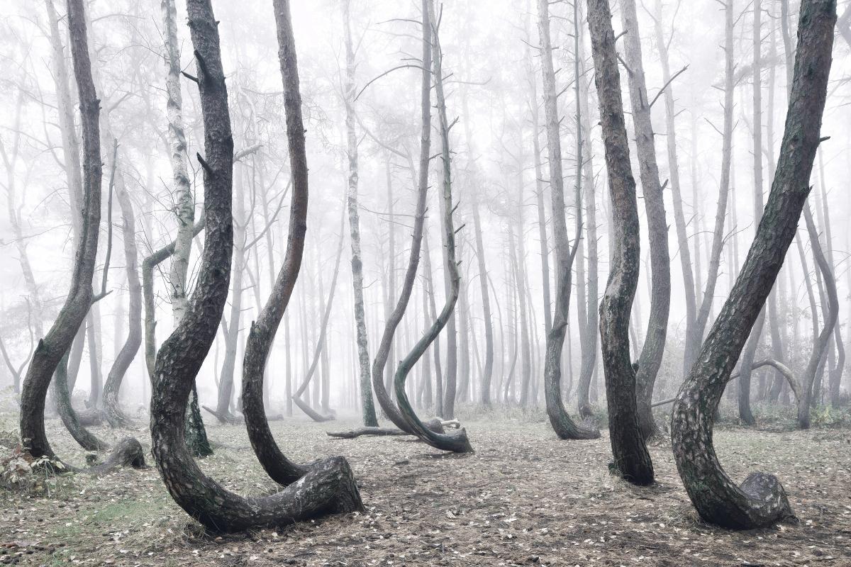 Таємничий ліс кривих сосен