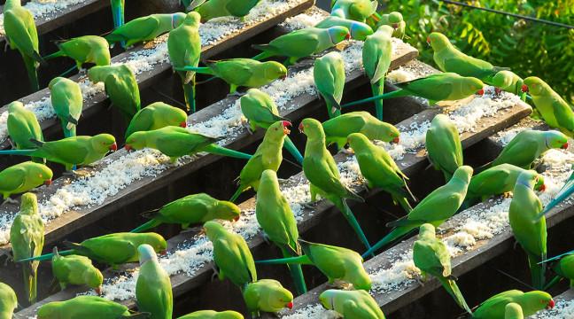 У Індії чоловік піклується про 4000 папуг