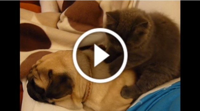 Кіт робить масаж псу!
