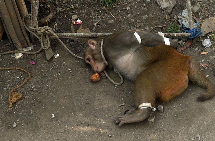 мавпа (6)