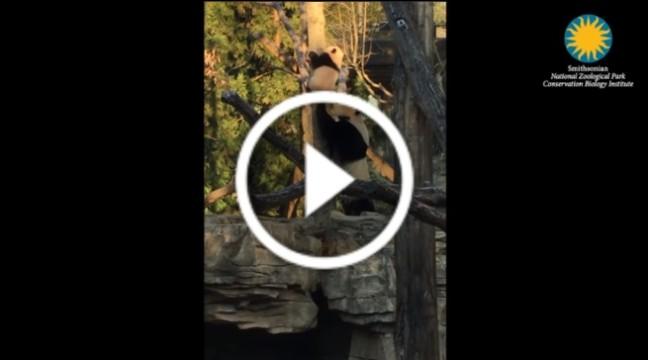 Мама-панда допомагає дитині-панді злізти з дерева
