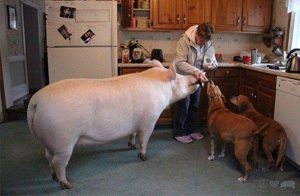 свиня (3)