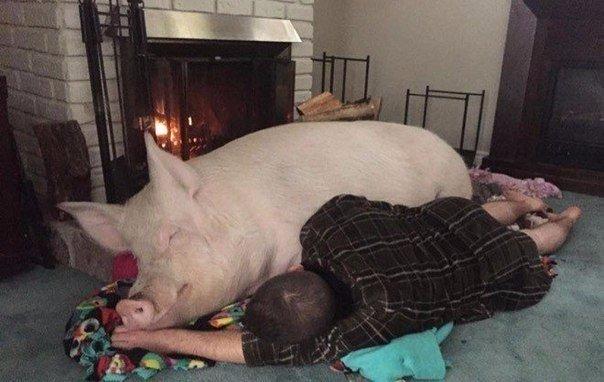 свиня (6)
