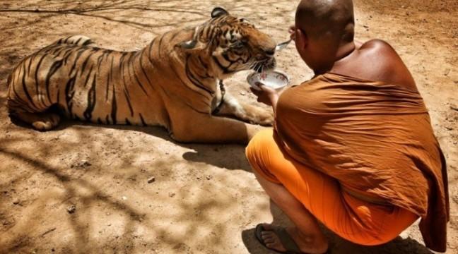 Тигри перетворюються в домашніх улюбленців