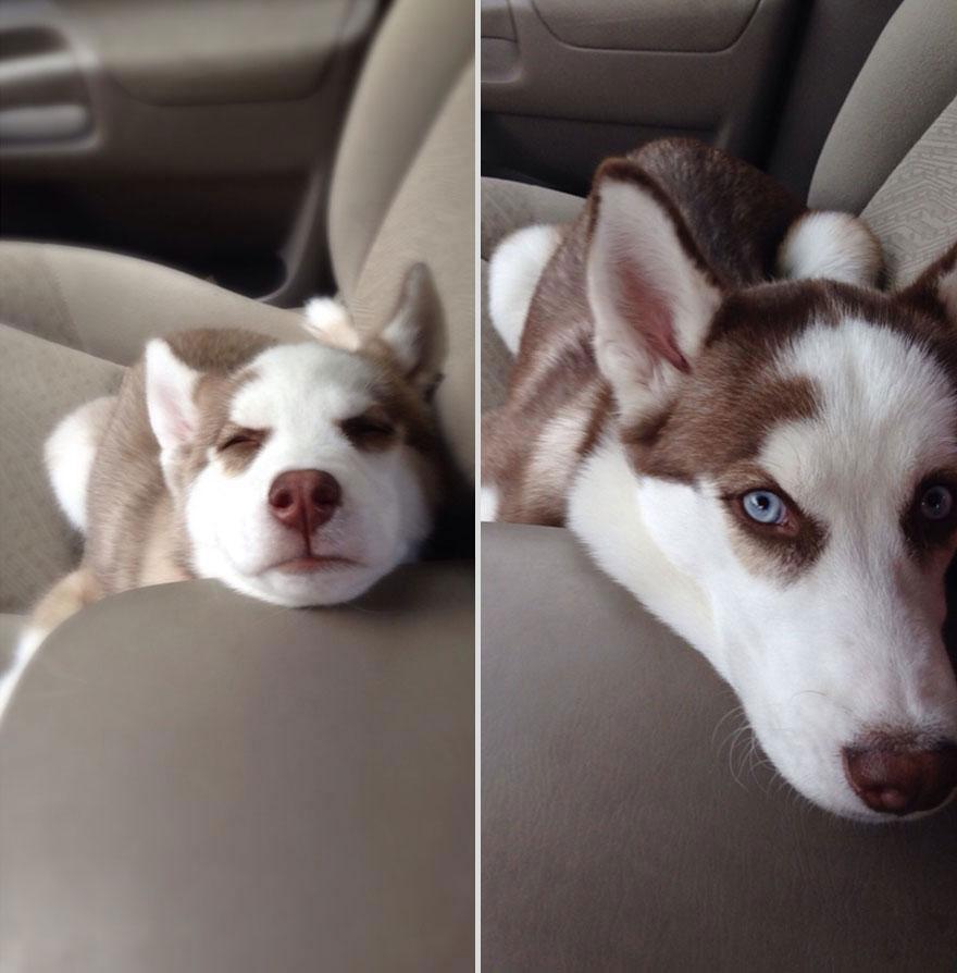 cute-pets-before-after-huskies