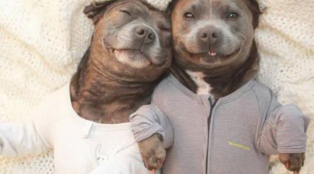 Найкрутіші брати-пітбулі у світі