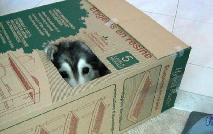 Кумедний хаскі з котячими звичками