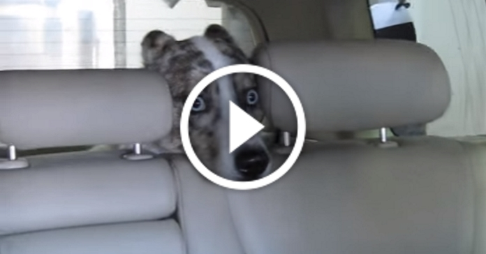 Автомийка навіює на цього хаскі незнаний страх. Бідний пес