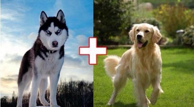 Що вийде, якщо схрестити відомі породи собак
