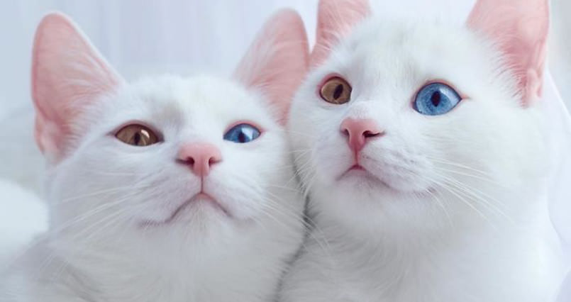get-lost-in-the-multi-colored-eyes-of-these-two-beautiful-twin-cats-805x426