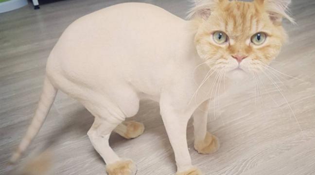 14 котів, які точно ненавидять своїх перукарів