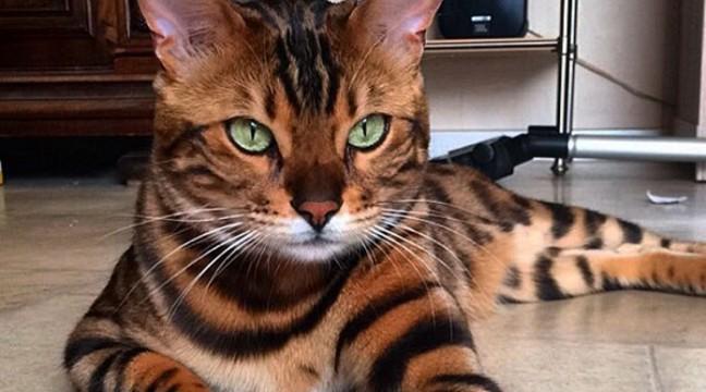 Тигр – бенгальський кіт з найкрасивішою шерстю у світі