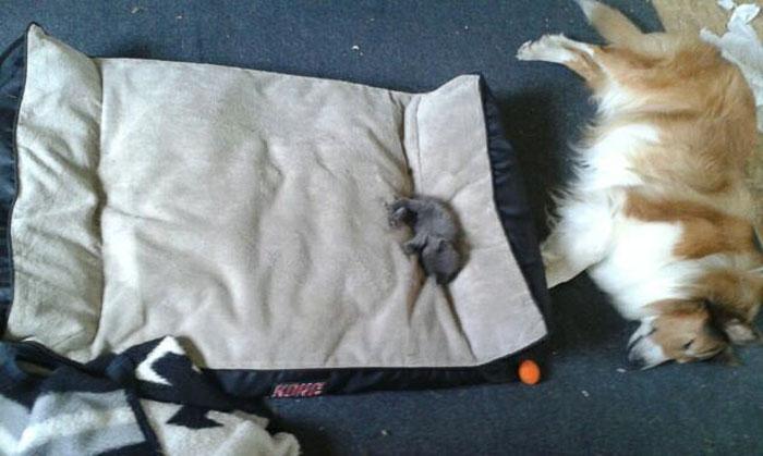 cats-stealing-dog-beds-48-57e1230a23a5e__700
