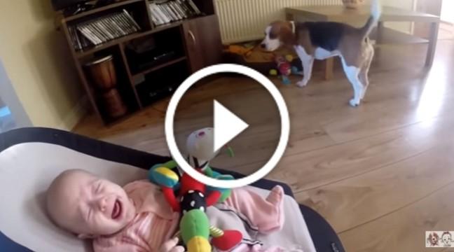 Пес довів немовля до сліз. Погляньте, як просить вибачення!