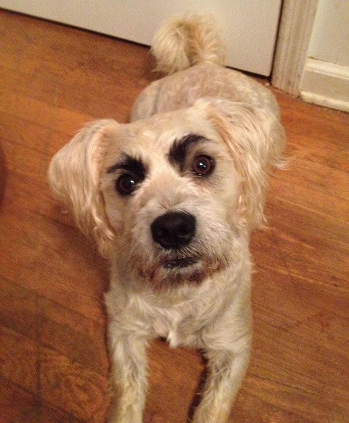 funny-dogs-with-eyebrows-13-57f3954d9df9e__700