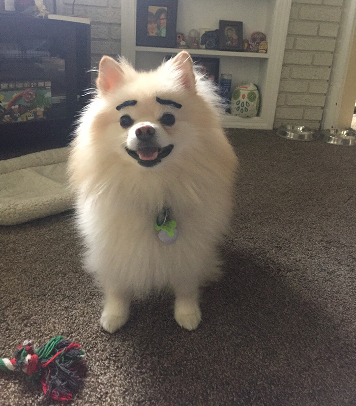 funny-dogs-with-eyebrows-35-57f39c0cacc53-png__700