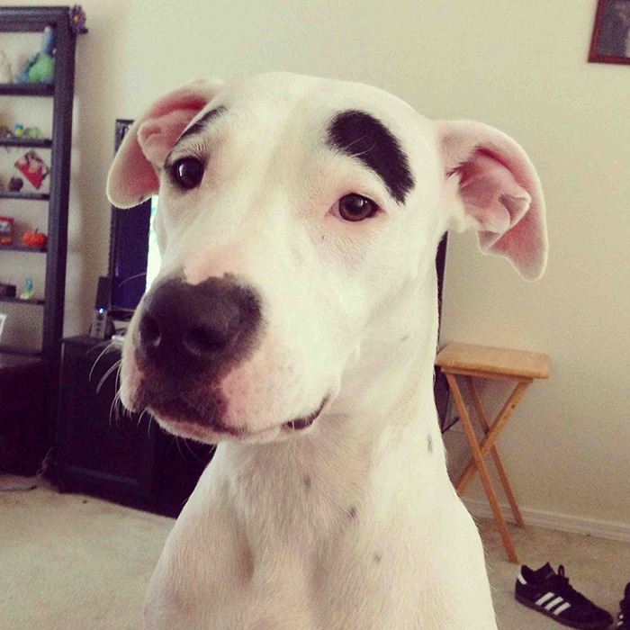 funny-dogs-with-eyebrows-36-57f39c8683865-png__700