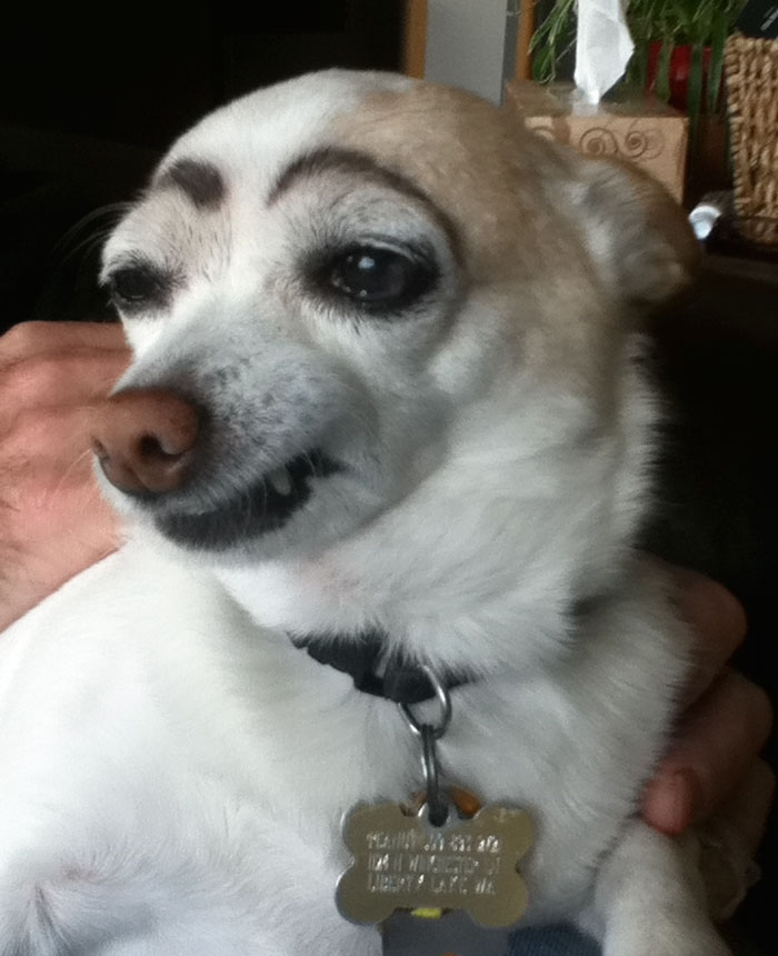 funny-dogs-with-eyebrows-36-57f39dda9063c__700