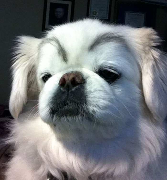 funny-dogs-with-eyebrows-44-57f3a59da1722__700