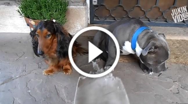 Допит двох собак з приводу пожованого капця. Вгадайте хто винен
