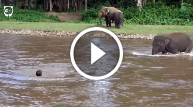 Слон кинувся у воду, щоб врятувати потопаючого чоловіка. Це треба бачити!