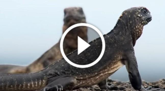 Інтернетом поширюється новий відео-хіт: маленька ігуана тікає від змій
